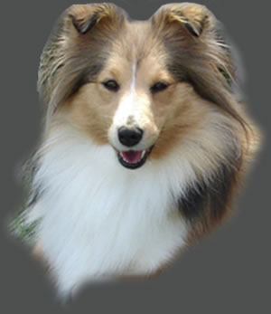 CLICK TO VIEW THE SHELTIE SITE;   Daylight van 't Hof Naddan